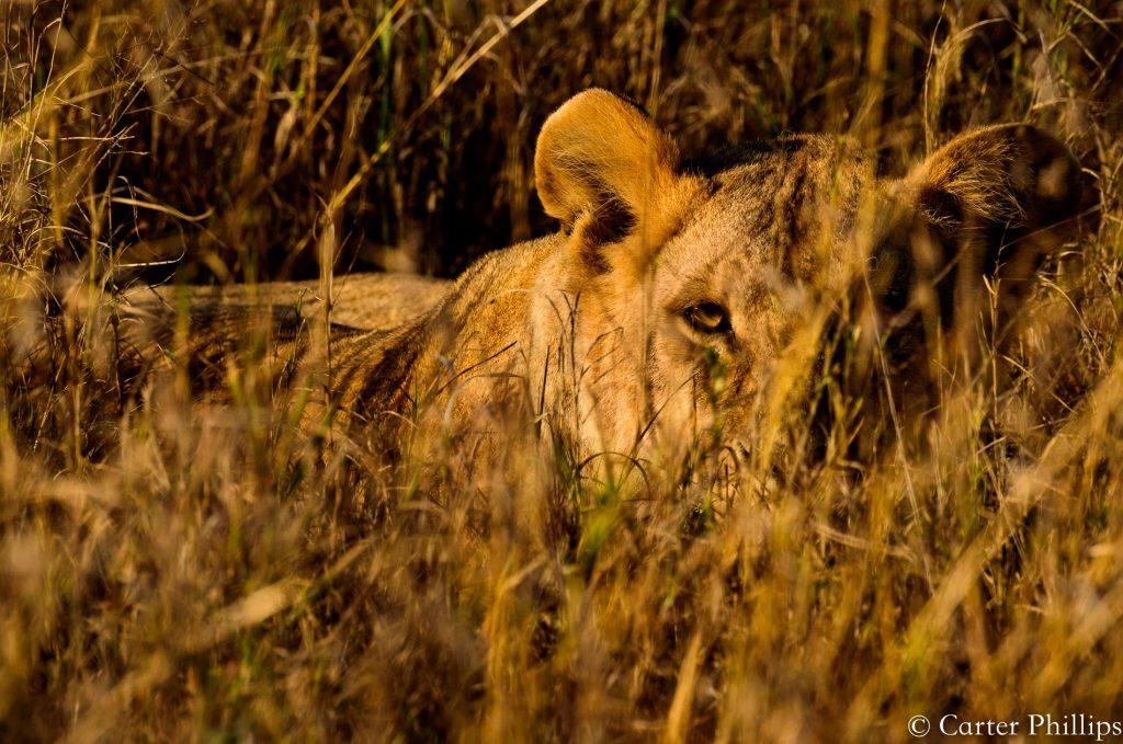 Africa Lion Tanzania