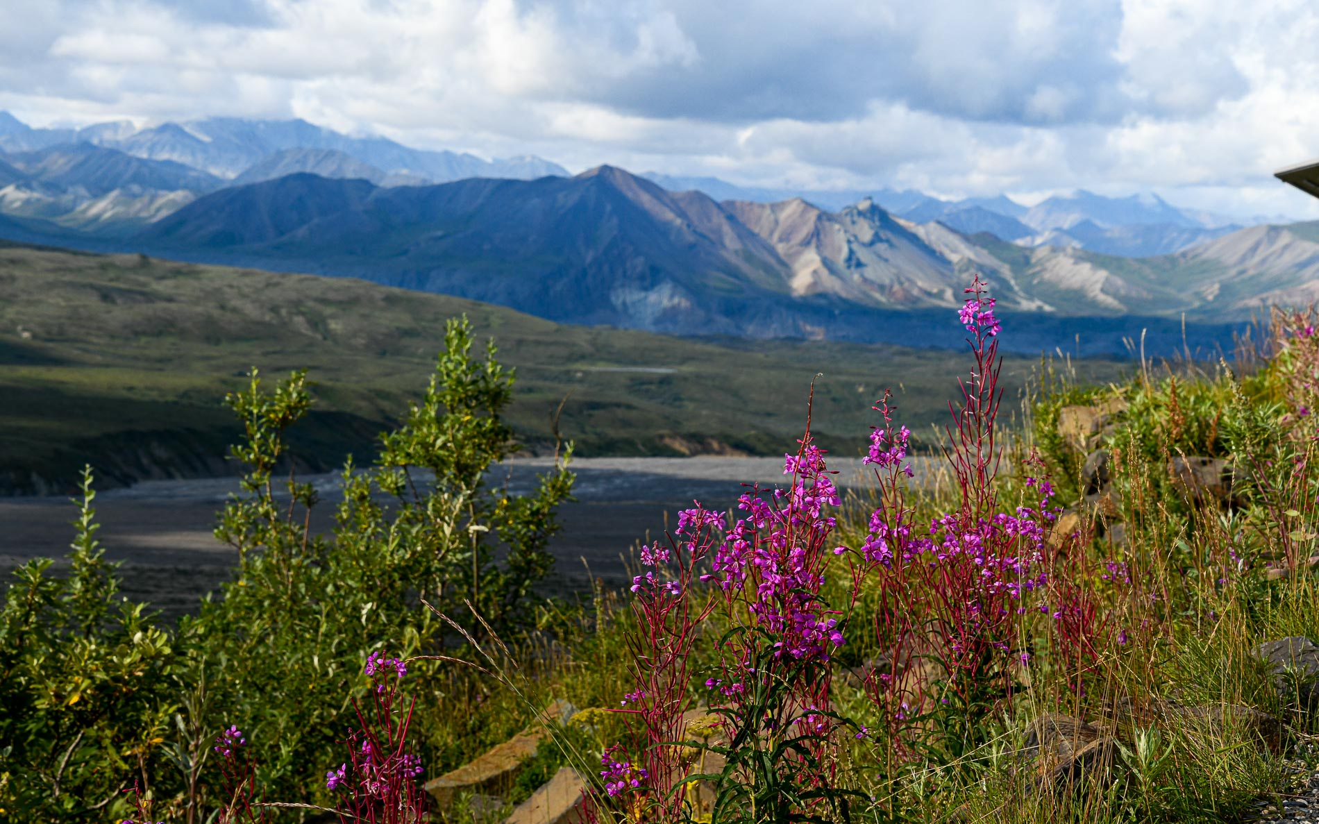 Fireweed Eielson Denali National Park