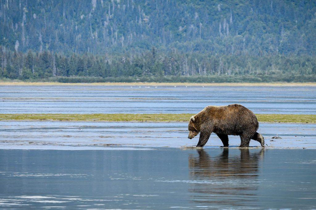 Brown Bear Kachemak Bay