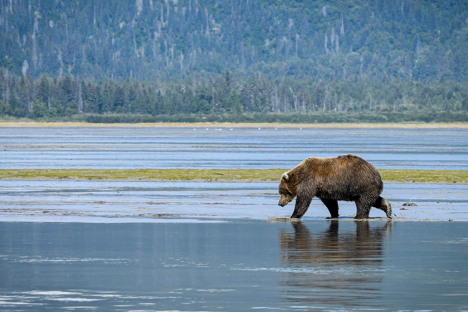 Brown Bear Kachemak Bay