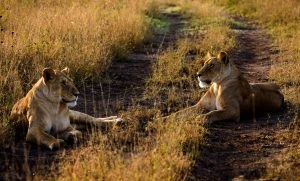 Africa Tanzania 2 Lions Sunrise