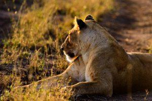 Africa Tanzania Lion sunrise