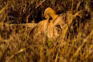 Africa Tanzania Lions Sunrise Hunt