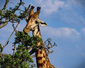 Africa Tanzania Giraffe