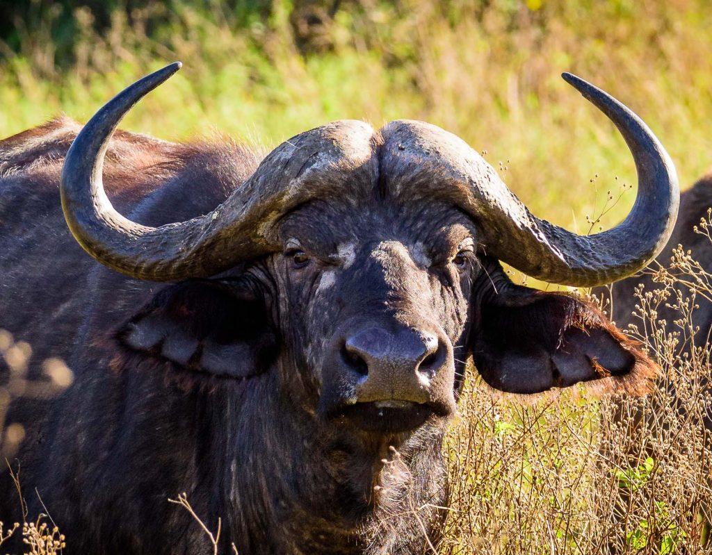 Africa Tanzania Water Buffalo